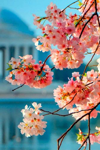 Sweet And Delicate Cherry Blossom #cherryblossom #springflowers