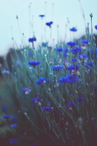 Simple But Pretty Cornflowers #blueflowers #flowerspictures