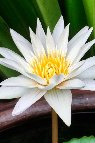 White Lotus – Perfect Choice For Your Pond #waterlily #lotus