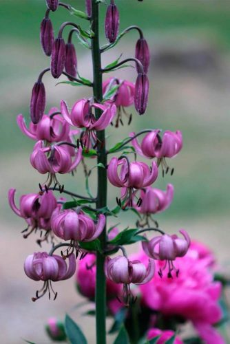 Gorgeous Martagon Lily #beautifulflowers #niceflowerspictures