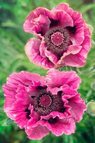 Amazing Oriental Poppy #gardenflowers