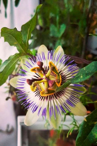 Unique And Incredible Passion Flora #exoticflowers