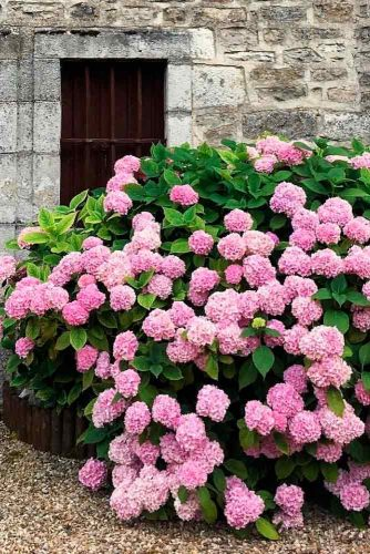 Lush Hydrangea #gardenflowers