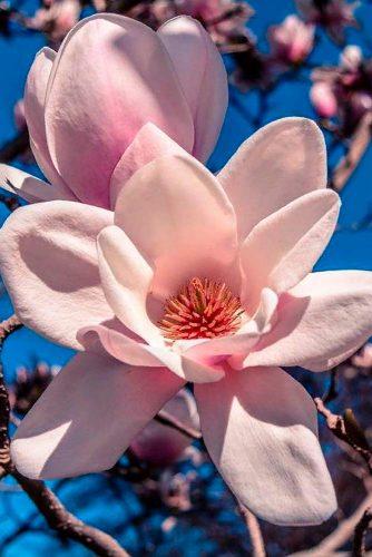 Flavorous Spring Magnolia #springflowers
