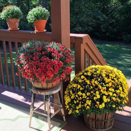 Rustic Pots With Mums For Front Porch Decor #rusticpots #mums