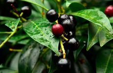Black Cherry And Its Impact On Your Health