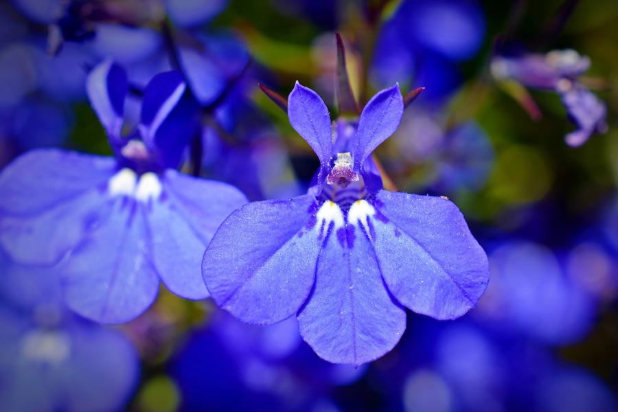 Gorgeous Lobelia Flowers And Its Benefits