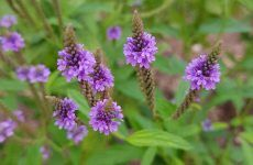 Vervain Is A Plant With Many Mysteries To It