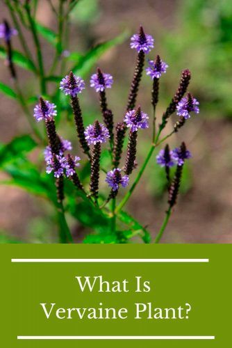 What Is Vervaine Plant? #herbal #healthylife